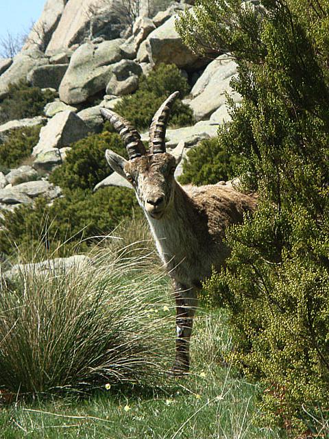 Es un joven macho montés en la sierra de Madrid